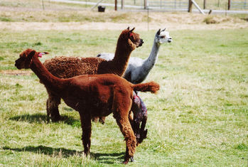 Alpaca birth