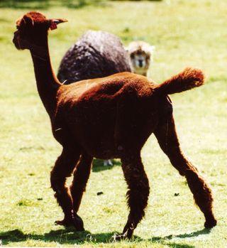 Alpaca birth 1