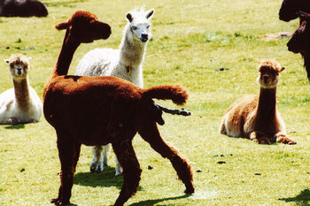 Alpaca birth-4