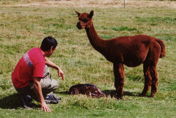 Alpaca birth-3
